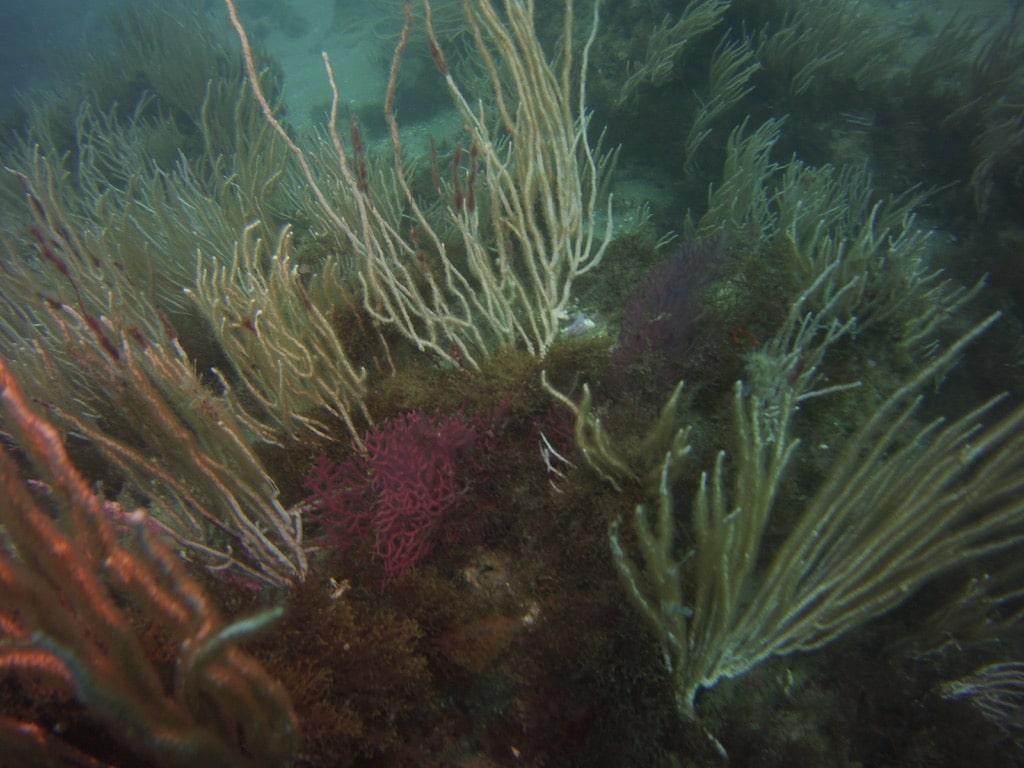 Sea fans in Punta Chullera