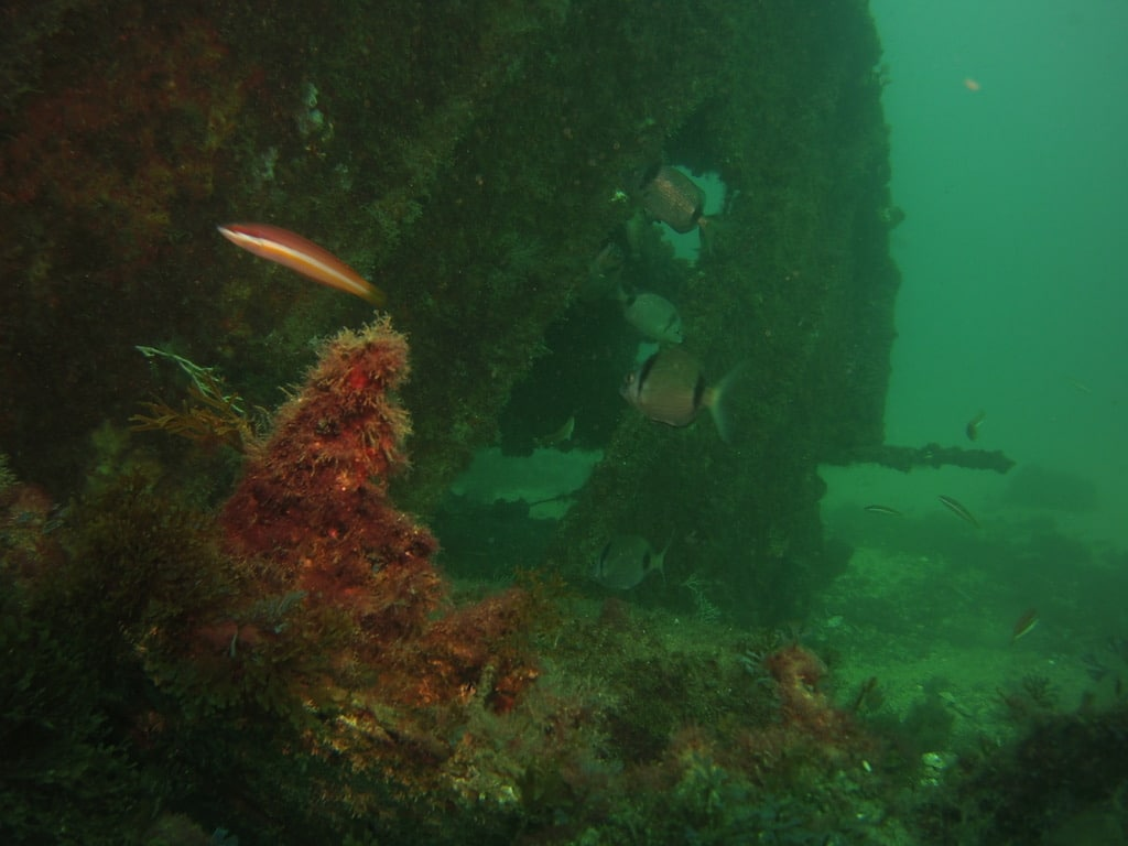 gibraltar coral
