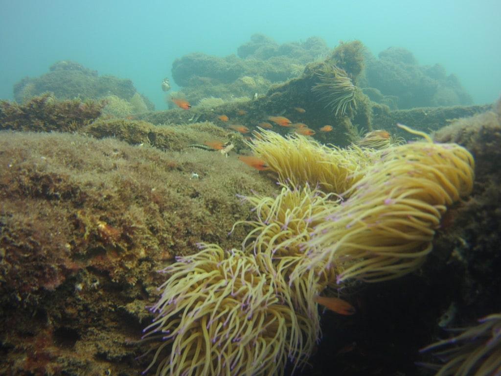 galeon lys fish