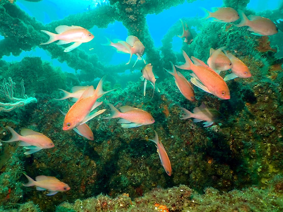 anthias in gibraltar